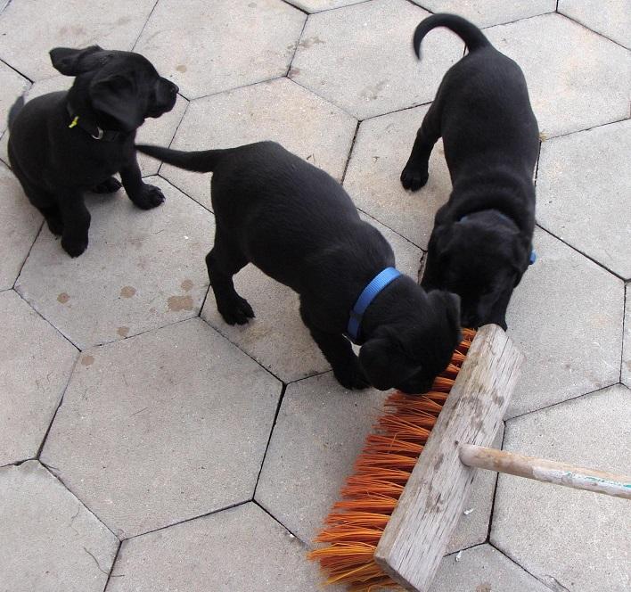 labrador hvalpe hunderacer
